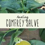 A flowering comfrey plant, and a tin of comfrey salve.