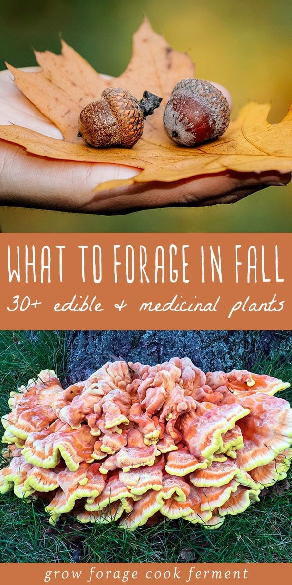Learn about what to forage in fall! Autumn is an abundant time for foraging and wildcrafting. Fall foraging includes berries, nuts, roots, and mushrooms. #fall #foraging #forage #wildcrafting #autumn #acorns #mushrooms #berries #roots