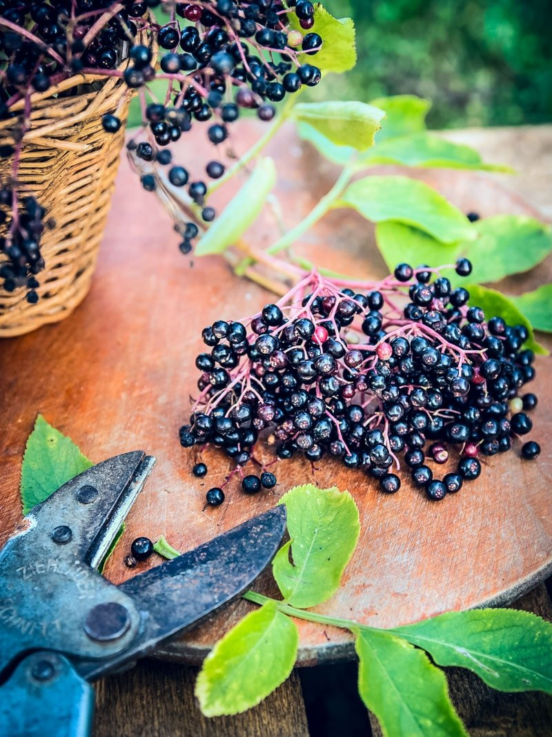 fresh elderberries on a table with a foraging basket and pruners