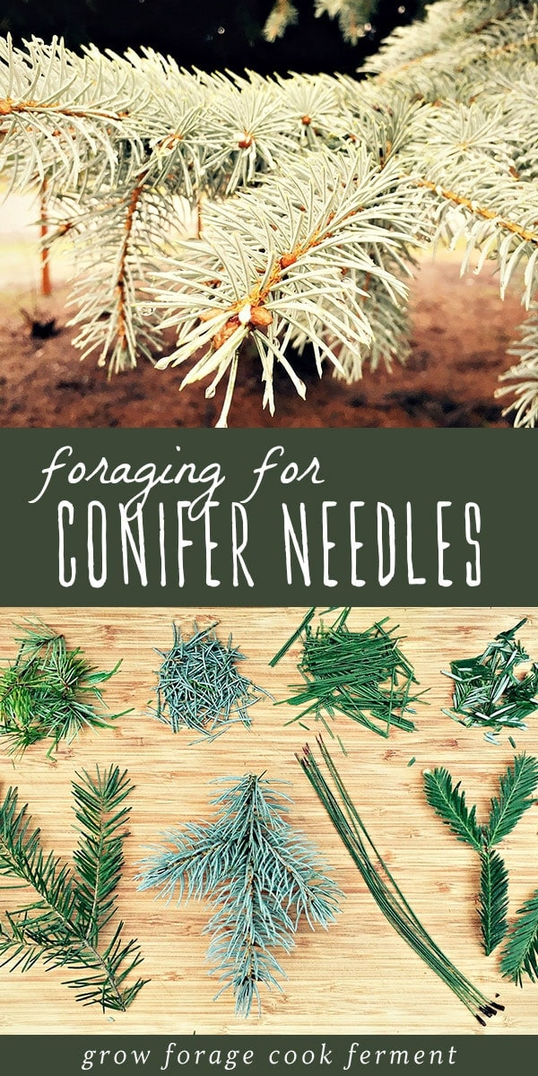 Foraging can be a challenge in the fall and winter, but luckily pine needles and other conifer needles are plentiful! Learn the main conifer needles to be on the look out for when foraging, as well as how to make a delicious recipe for medicinal pine need tea. This it the perfect first adventure for a beginner forager and budding herbalist! #forage #foraging #herbalism #herbalist #fall #winter #wildcrafting