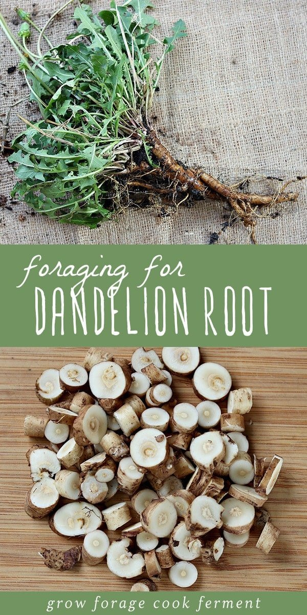Most beginning herbalists know the benefits and properties of dandelion leaves, but dandelion root is incredibly useful too! Fall is the best time of year to forage and wildcraft for medicinal roots. Dandelion root is easy to identify and harvest, and has so many uses including medicinal and culinary. Learn everything you need to know about foraging for dandelion root, and how to use it in cooking and natural medicine. #forage #foraging #wildcrafting #dandelion #herbalism #fall