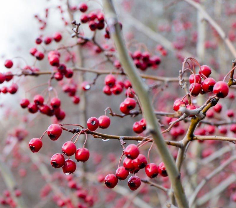 hawthorn berries in late fall