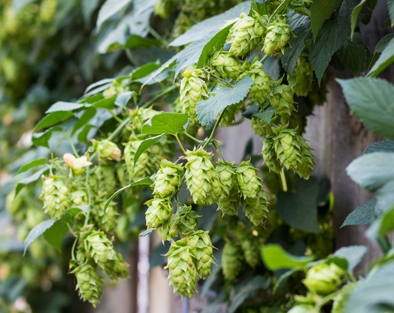 a cluster of hop flowers growing on a bine