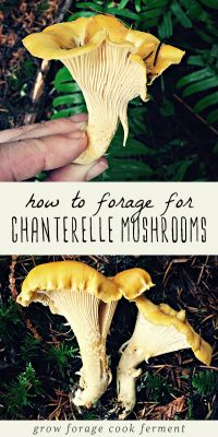 Chanterelle mushrooms growing in the wild, and a woman holding a foraged chanterelle mushroom.