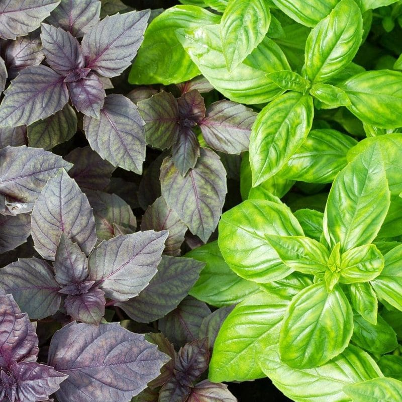 purple basil and green basil