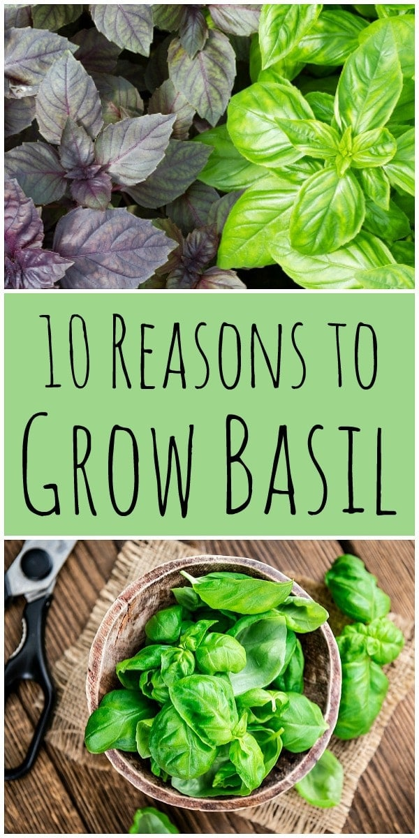 Basil is a common herb that is most often used in the kitchen, but it is also good for the garden and has amazing health benefits! Learn about 10 reasons to grow basil and the benefits of basil. #basil #herbgarden #herbalism #pesto #basiltea