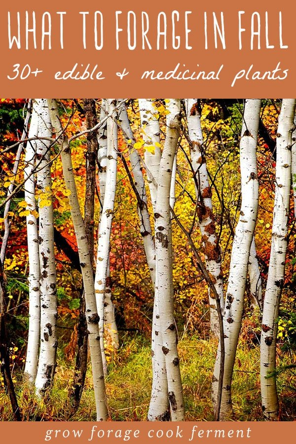 birch trees with fall colors
