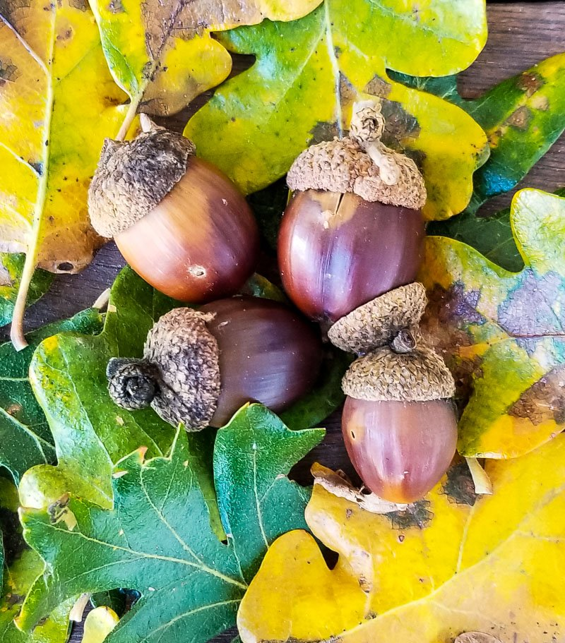 a small pile of acorns and oak leaves
