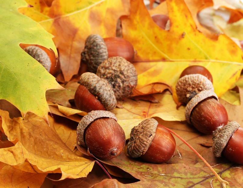 acorns on the ground with fall leaves
