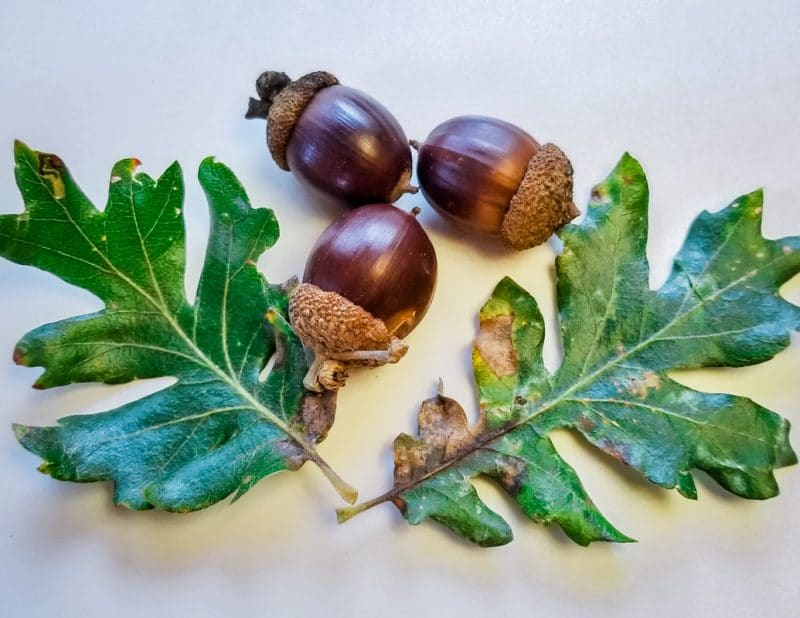 three acorns and two oak leaves