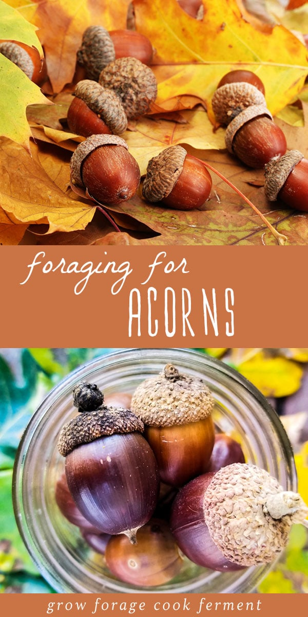 Fall is the time to go foraging for acorns! Learn how to identify and process acorns for eating, plus some delicious acorn recipes. #acorns #foraging #wildcrafting #acornrecipes #acornflour