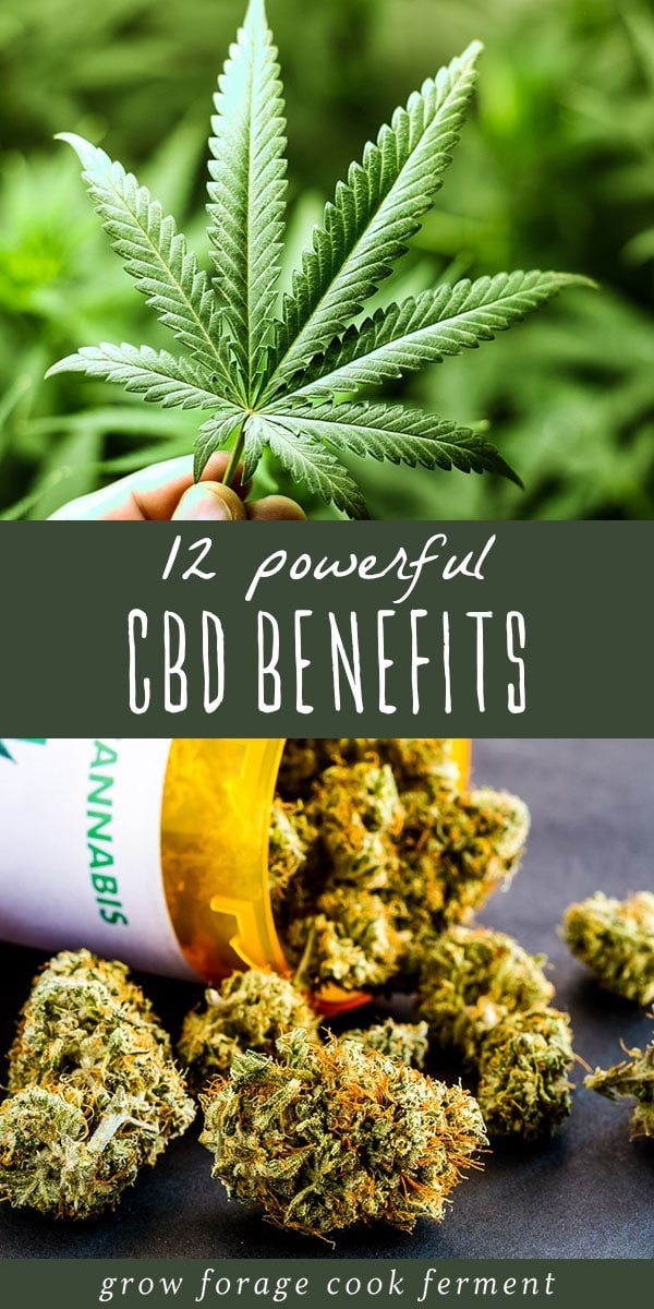 CBD and cannabis have become very popular in recent years due to their many medicinal benefits. Learn about 12 powerful CBD benefits for your health! #cbd #cbdbenefits #benefitsofcbd #cannabis #medicinalcannabis #cannabisbenefits #medicalcannabis #herbalmedicine #herbalism