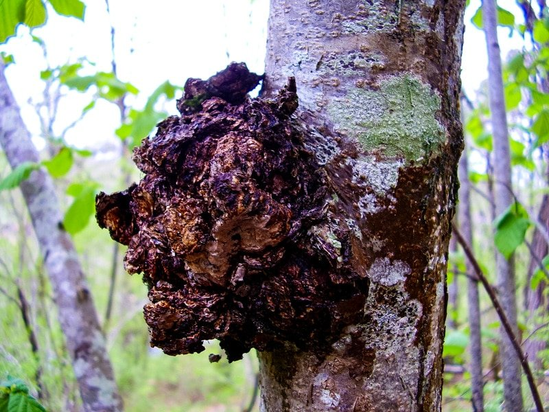 chaga mushroom on a birch tree