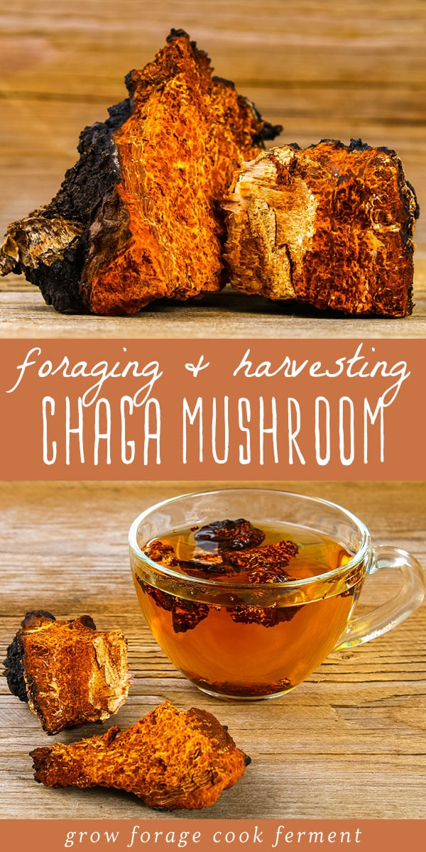 Learn all about chaga fungus! What is chaga, how to forage and harvest chaga sustainably, chaga benefits, and how to make chaga tea. #chaga #chagamushroom #foraging #wildcrafting #mushrooms #chagatea #chagabenefits