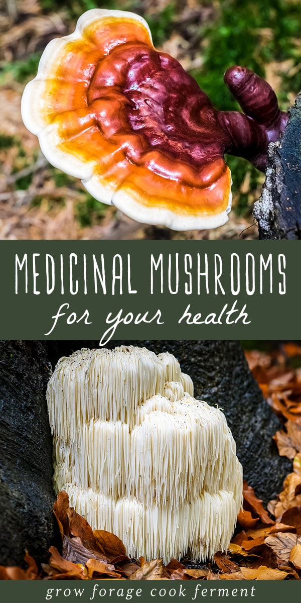 Learn more about six different medicinal mushrooms that have powerful health benefits. They will boost your immune system, mood, and give you energy! #medicinal #mushrooms #foraging #health #reishi #lionsmane #chaga #turkeytail #maitake #cordyceps