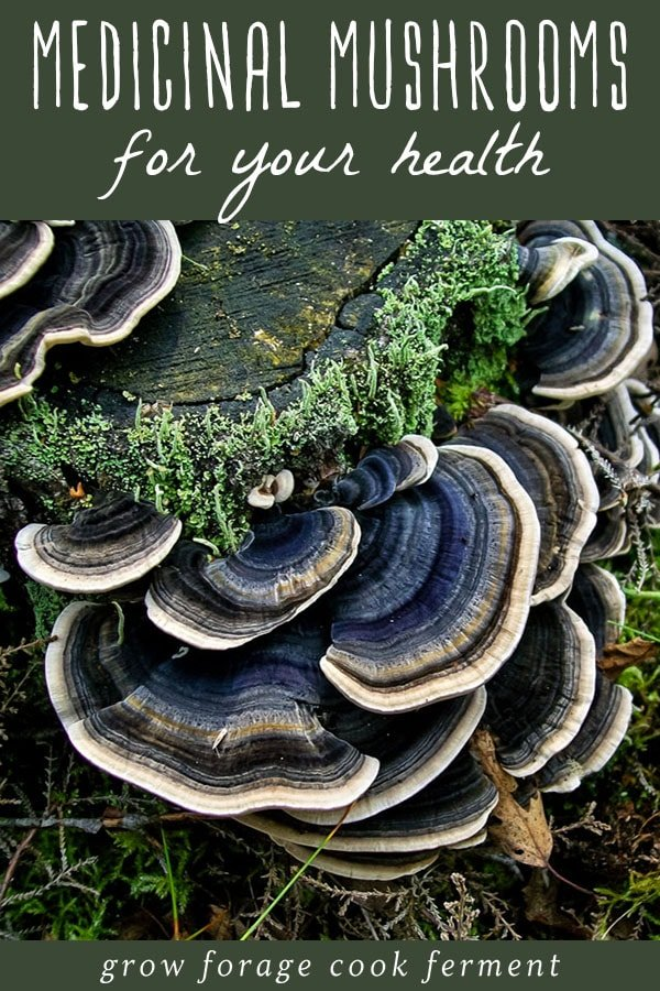 blue and white striped turkey tail mushrooms on a stump