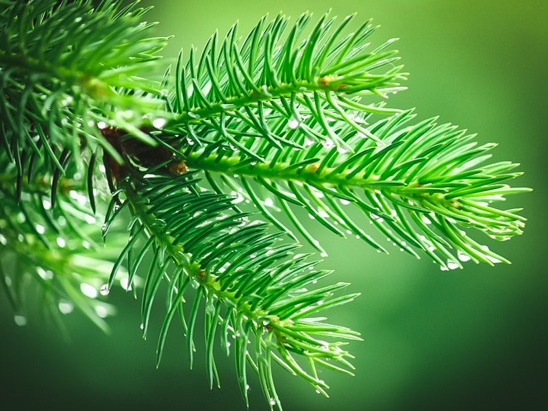 a conifer branch with raindrops