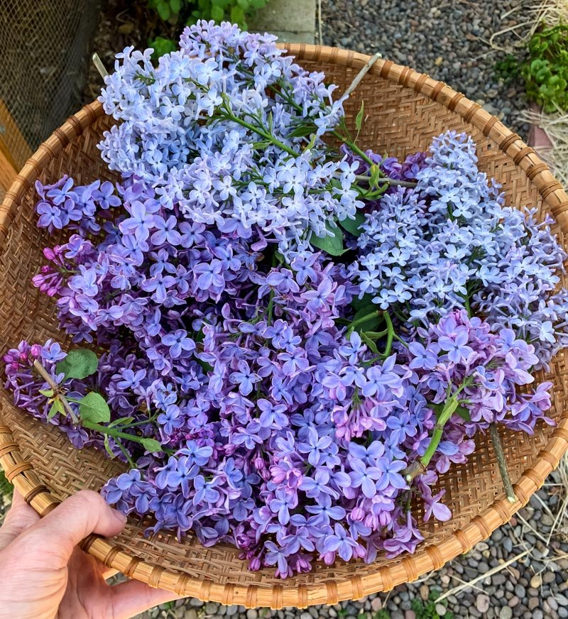 a harvest basket full of lilac blossoms