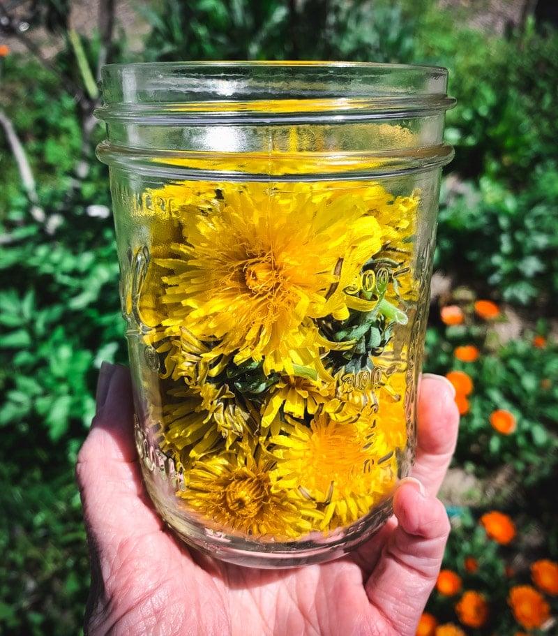 a jar of freshly picked dandelion flowers