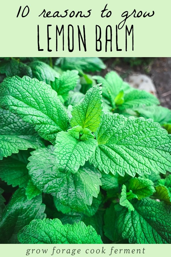 a close up of lemon balm leaves