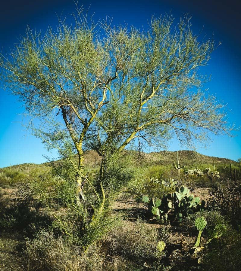 palo verde tree in the desert