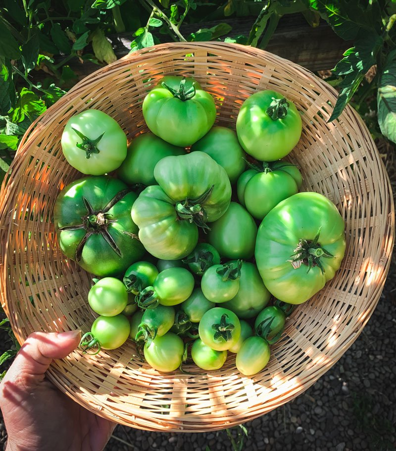 a harvest basket of green tomatoes