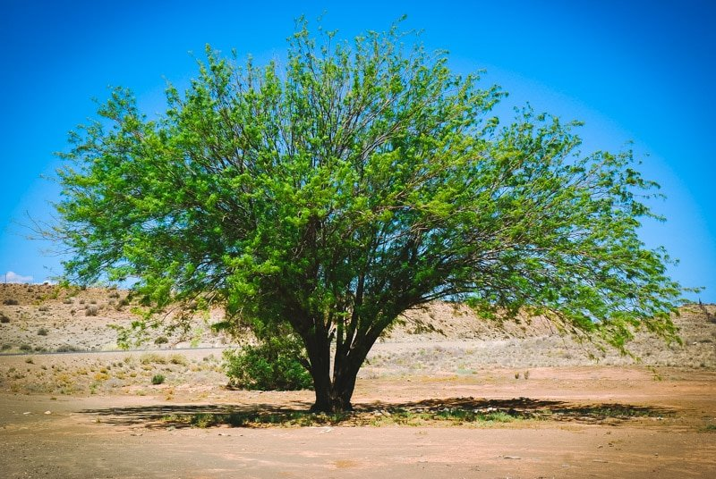 mesquite tree in the desert