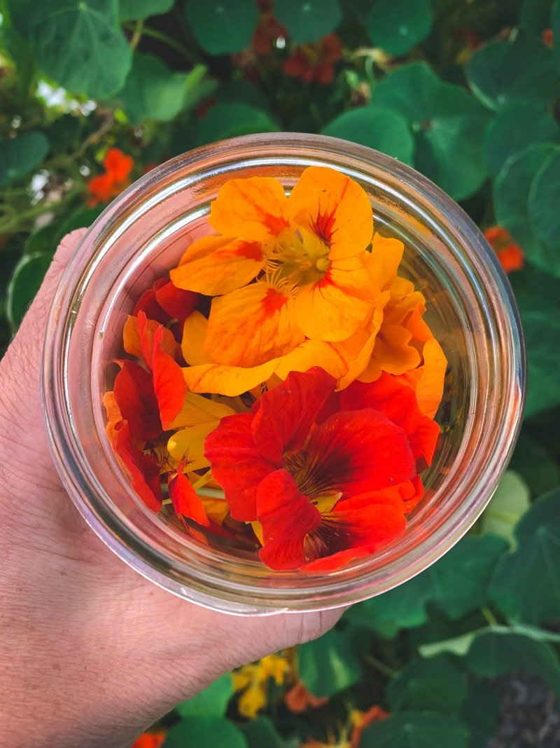 a jar of fresh nasturtium flowers