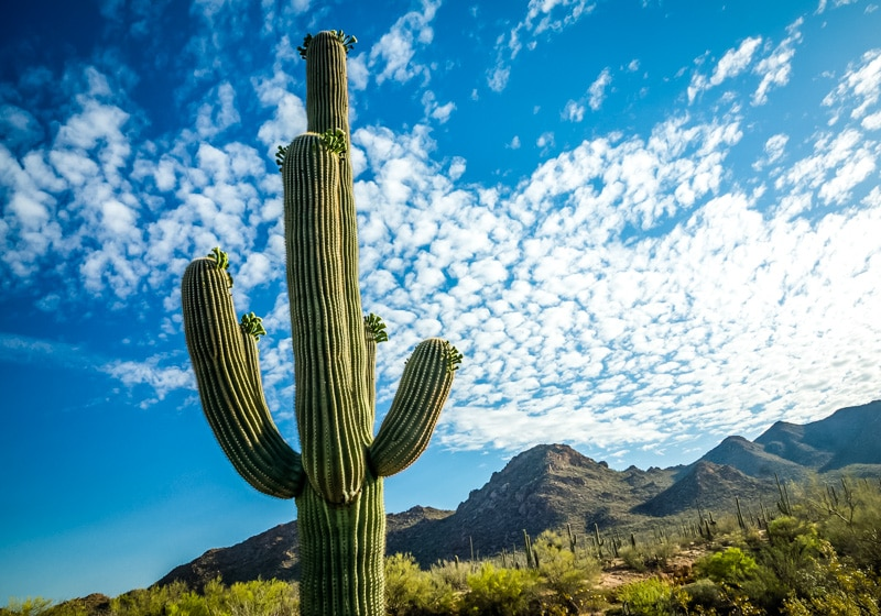 large saguaro cactus in the desert