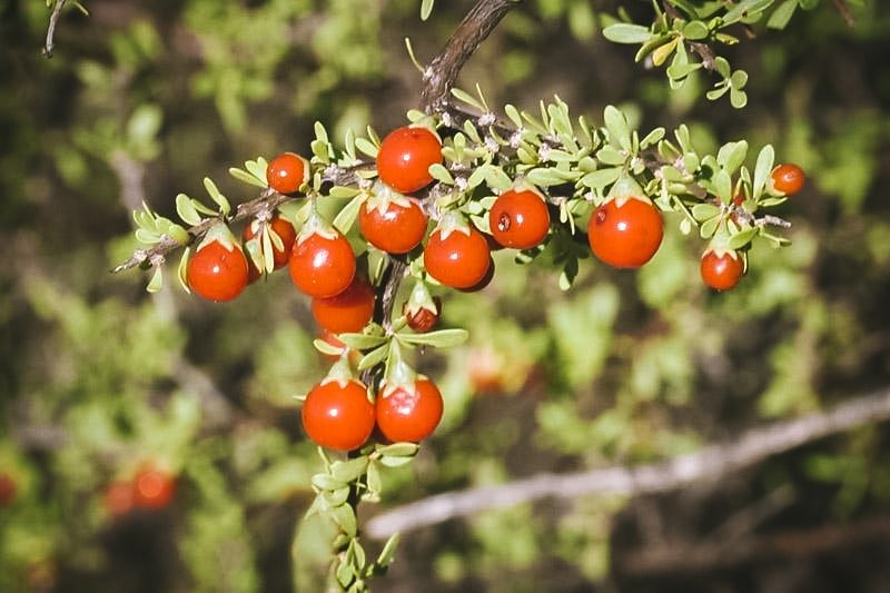 red wolfberries growing on a branch