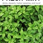 Mint Recipes