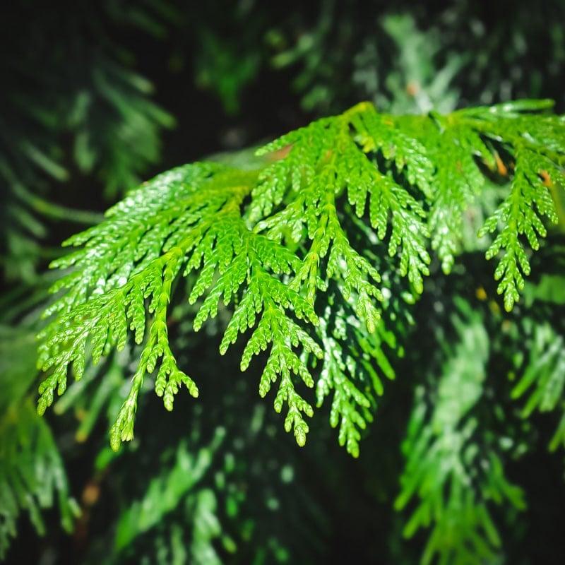aborvitae branch