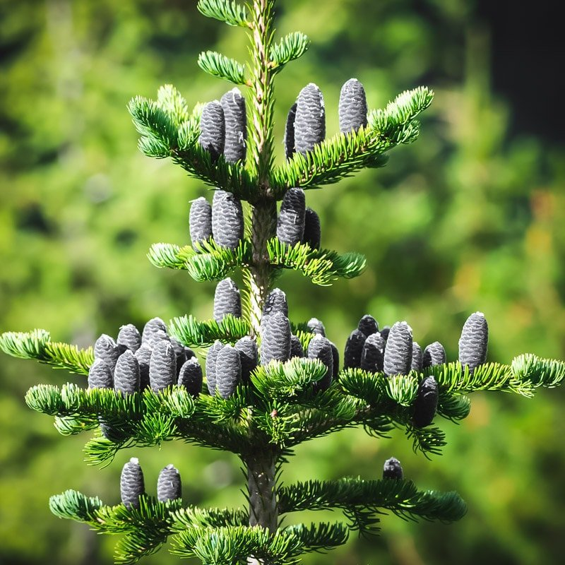 fir tree showing upright cones