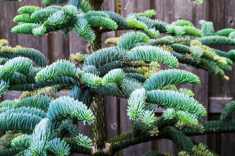 fir tree showing needles pointing up