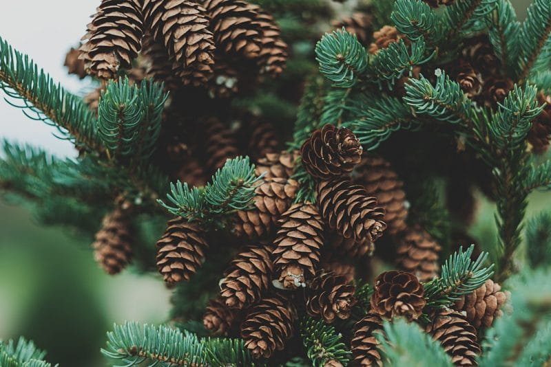 norway spruce branches