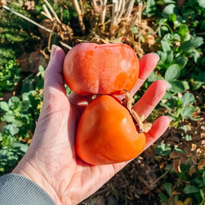 a hand holding a fuyu and hachiya persimmon