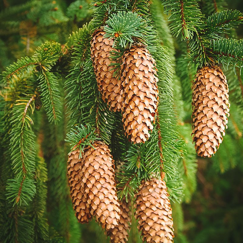 spruce tree with cones