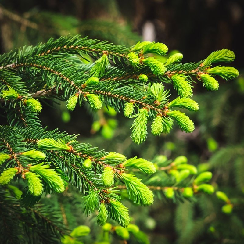 spruce tree with tips