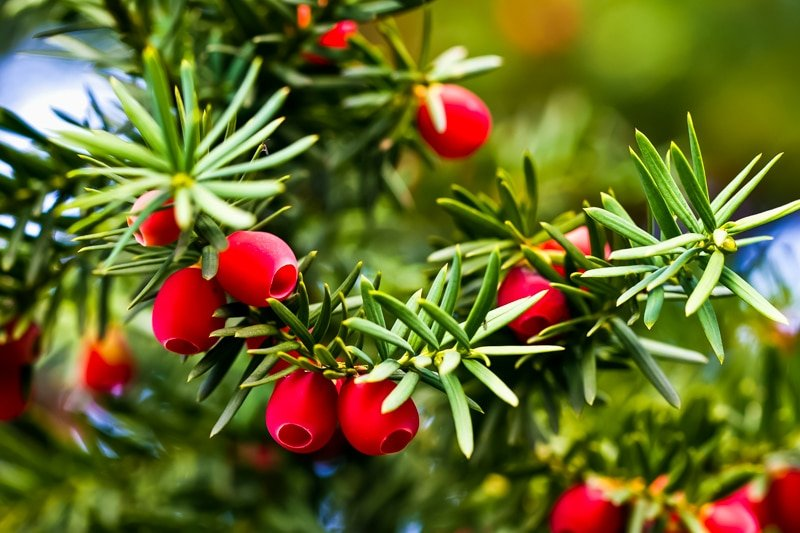 yew tree branches with red berries