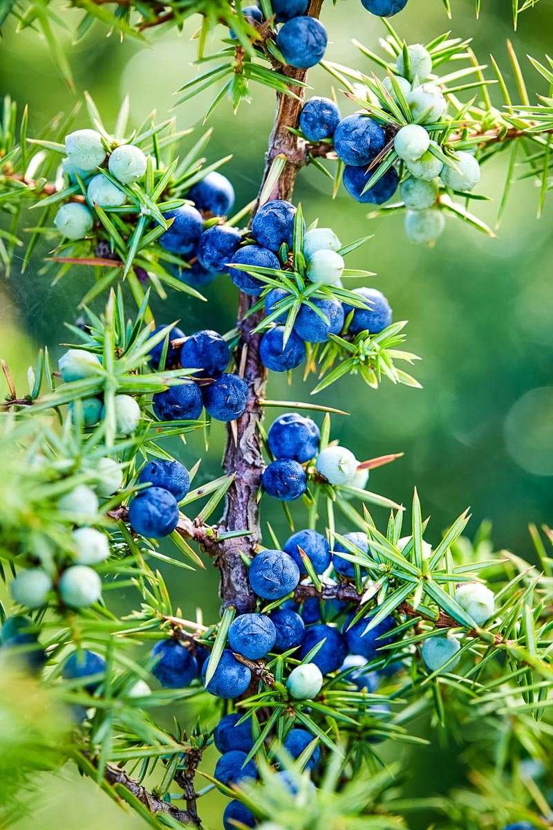 juniper tree with berries and needles