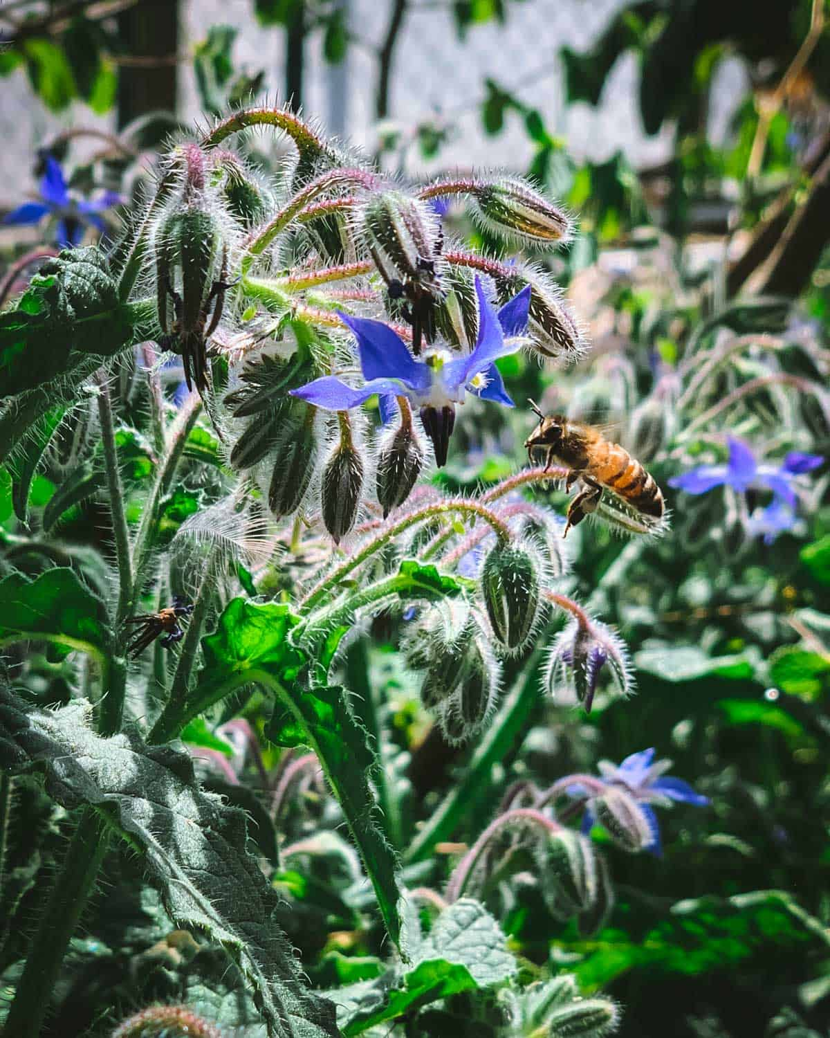 bee flying towards a borage flower