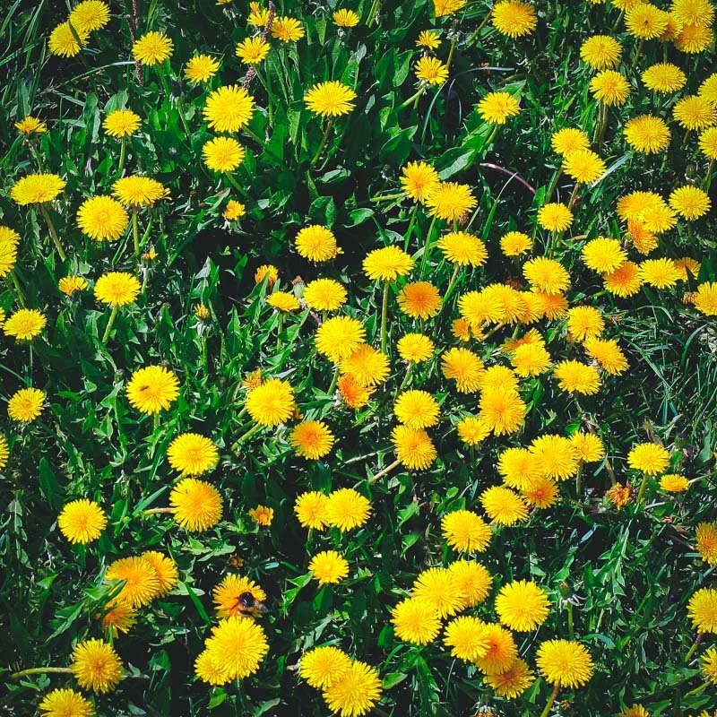 a lawn full of dandelions