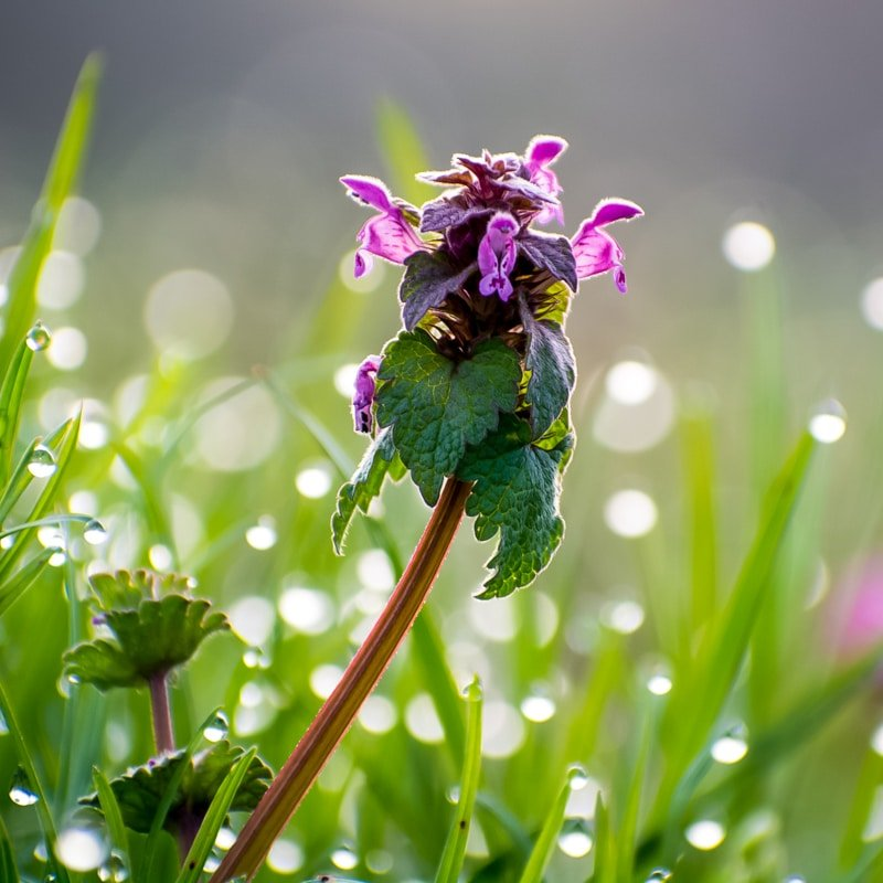 purple dead nettle plant with dew