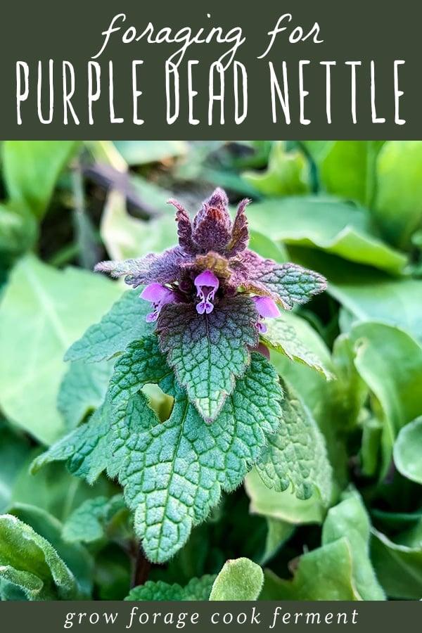 close up of a purple dead nettle plant