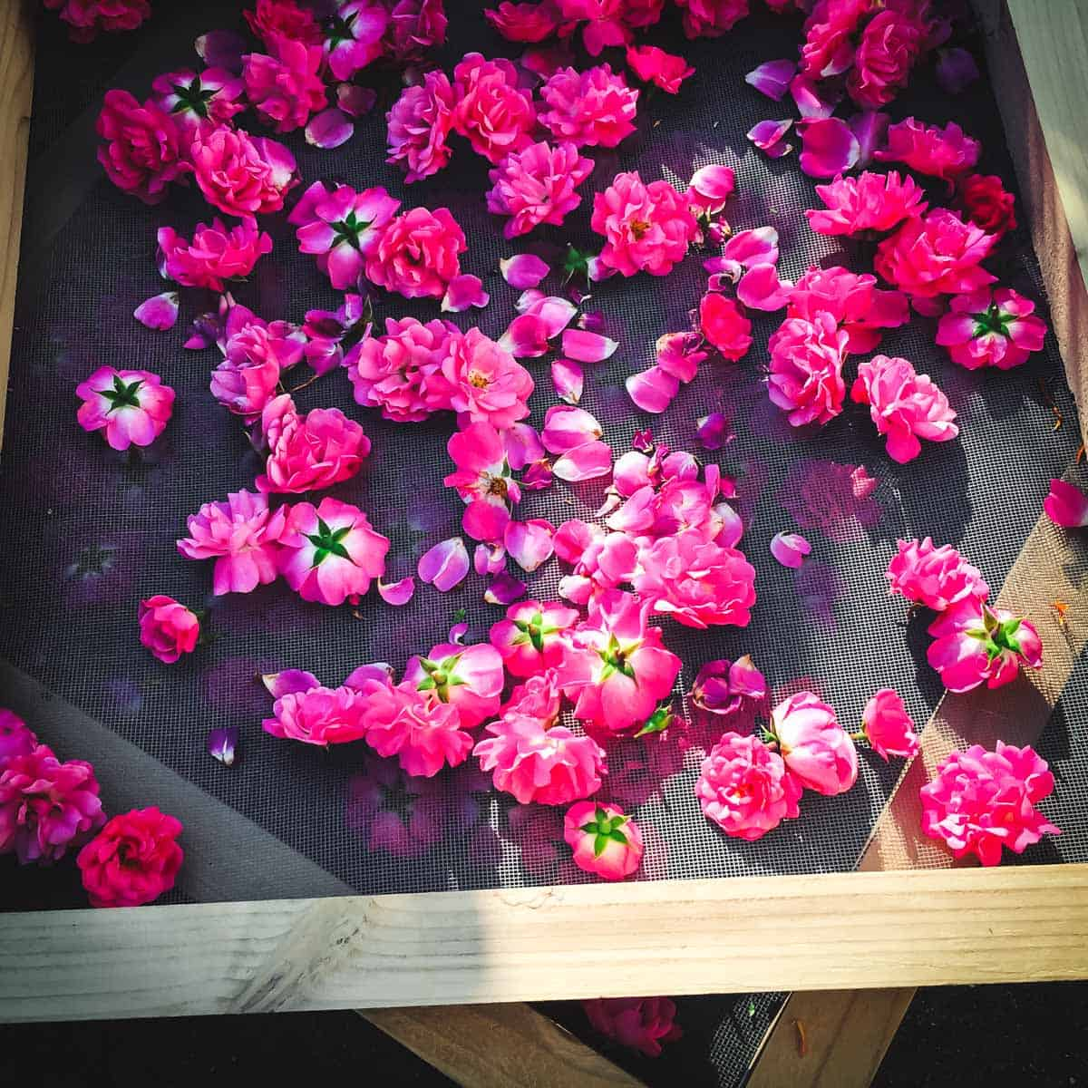 fresh pink roses on a drying screen