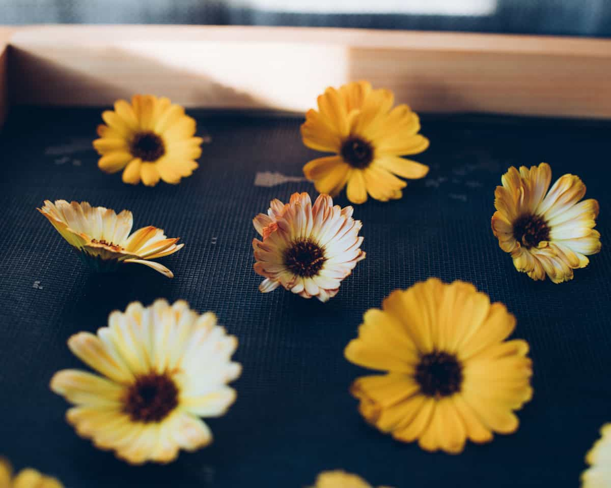 calendula flowers drying on a screen