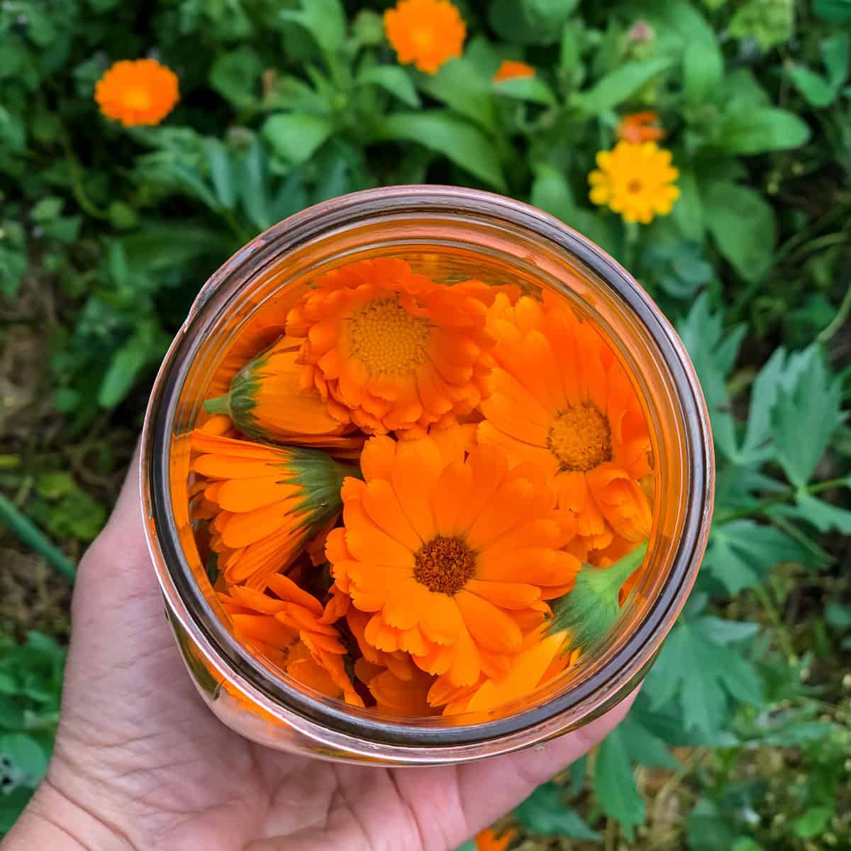 a wide mouth quart jar full of fresh calendula flowers