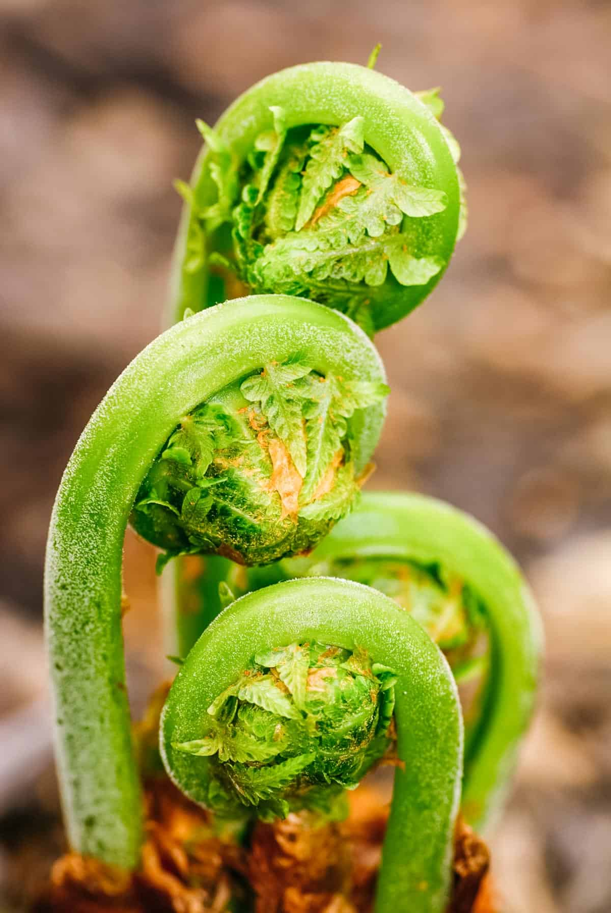 fiddlehead ferns growing