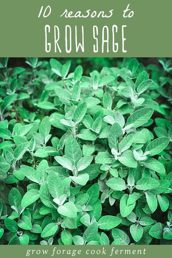 10 reasons to grow sage