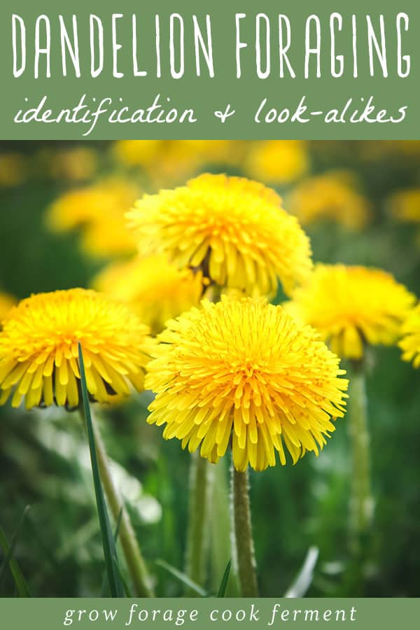 close up of yellow dandelion blossoms